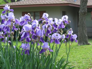 Cherrywood iris blossoms